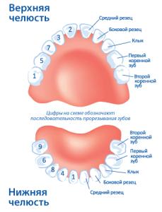 Очередность прорезывания зубов у младенца